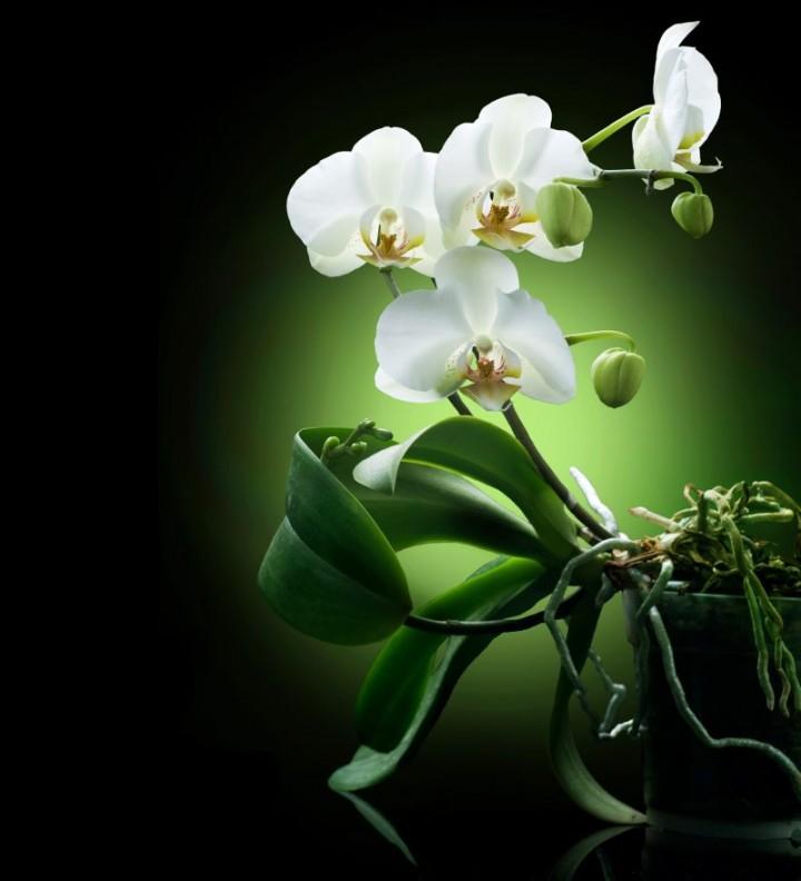 jak rozmnoży� storczyki kwiaty na stanowisko jasne